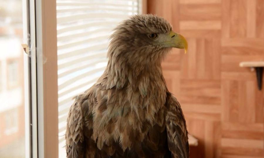 ВНенецком округе спасли раненого браконьерами орлана-белохвоста